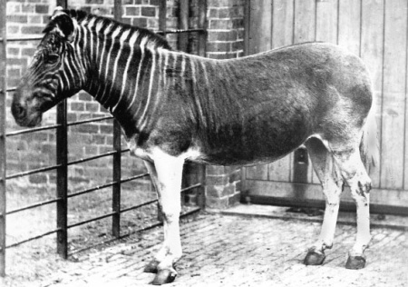 Quagga im Zoo London um 1870